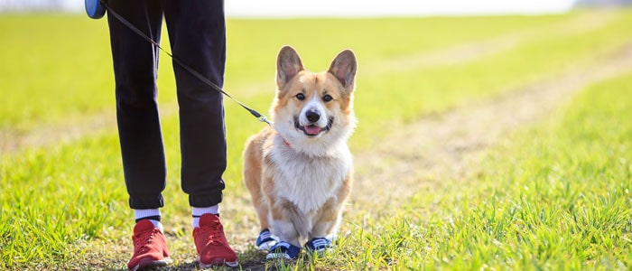 Someone walking a corgi with trainers on.
