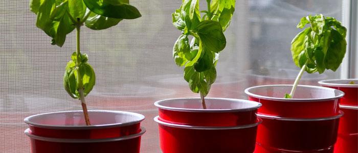 Vegetables being grown in plastic cups in a window.