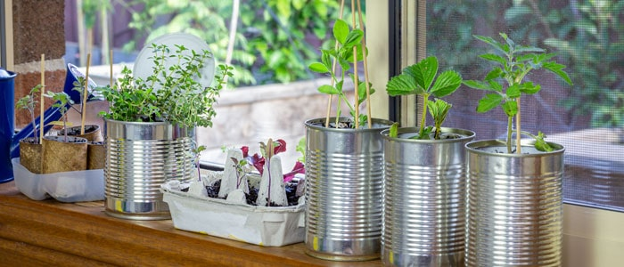 Herbs being grown in tin cans on a windowsill.
